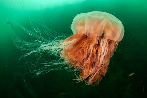 Lion's Mane Jellyfish North Channel